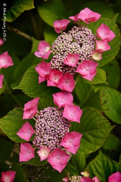 Just-flowering hydrangeas