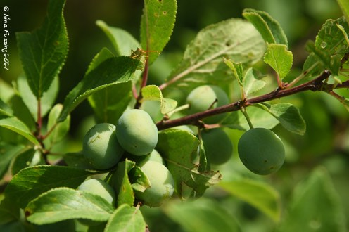 The plums are coming