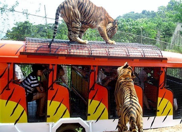 tiger safari in Zoobic Philippines