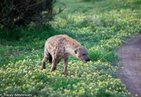 This poor old female hyena has one gimpy leg from a battle in her youth. She can still hunt though!