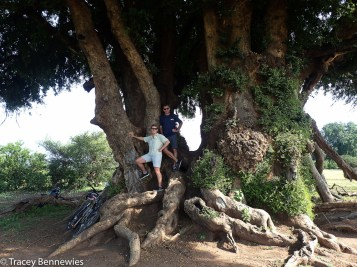 Under a Mashatu tree that is probably 800+ years old