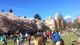 In bloom at the campus of the University of Washington