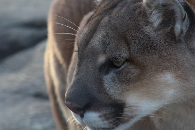 The puma staring into the distance.