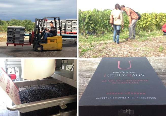 Harvesting Merlot, destemming the berries, and inspecting the crop before doing a little of our own taste testing!