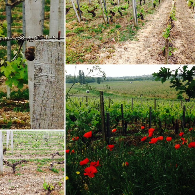 Speaking of our audit , a return to our studied domaine reveals a few surprises. These snails though small amd picturesque are responsible for devastating some plots of land. The picture below shows one parcel where the snails have eaten most of the new shoots and leaves. The top picture on the right shows the difference between vineyards using herbicides and those without - what a difference! Fortunately , the top quality parcel is in great shape, as demonstrated by the presence of these poppies. Apparently poppies are very sensitive to the presence of herbicodes, so this shows that our vigneron is putting few chemicals onto his vines.
