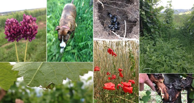 Vineyard friend or foe? Garlic flowers (friend, has a bite we like); It's bring-your-dog-to-work day with Nikita (yes, same name as the horse); spiders everywhere. These bees have set up shop in a hole in the ground between the rows. Poppies are always welcome. These roots are growing out of the top of the stump (weeiiiirrd!) and finally... nettles. These guys are the WORST!