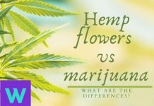 Hemp flower buds vs marijuana