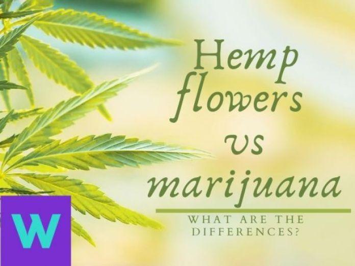Hemp flower buds vs marijuana