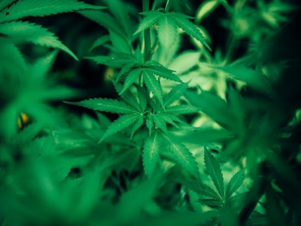 CBD or marijuana affects women