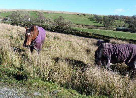 Howgill ponies
