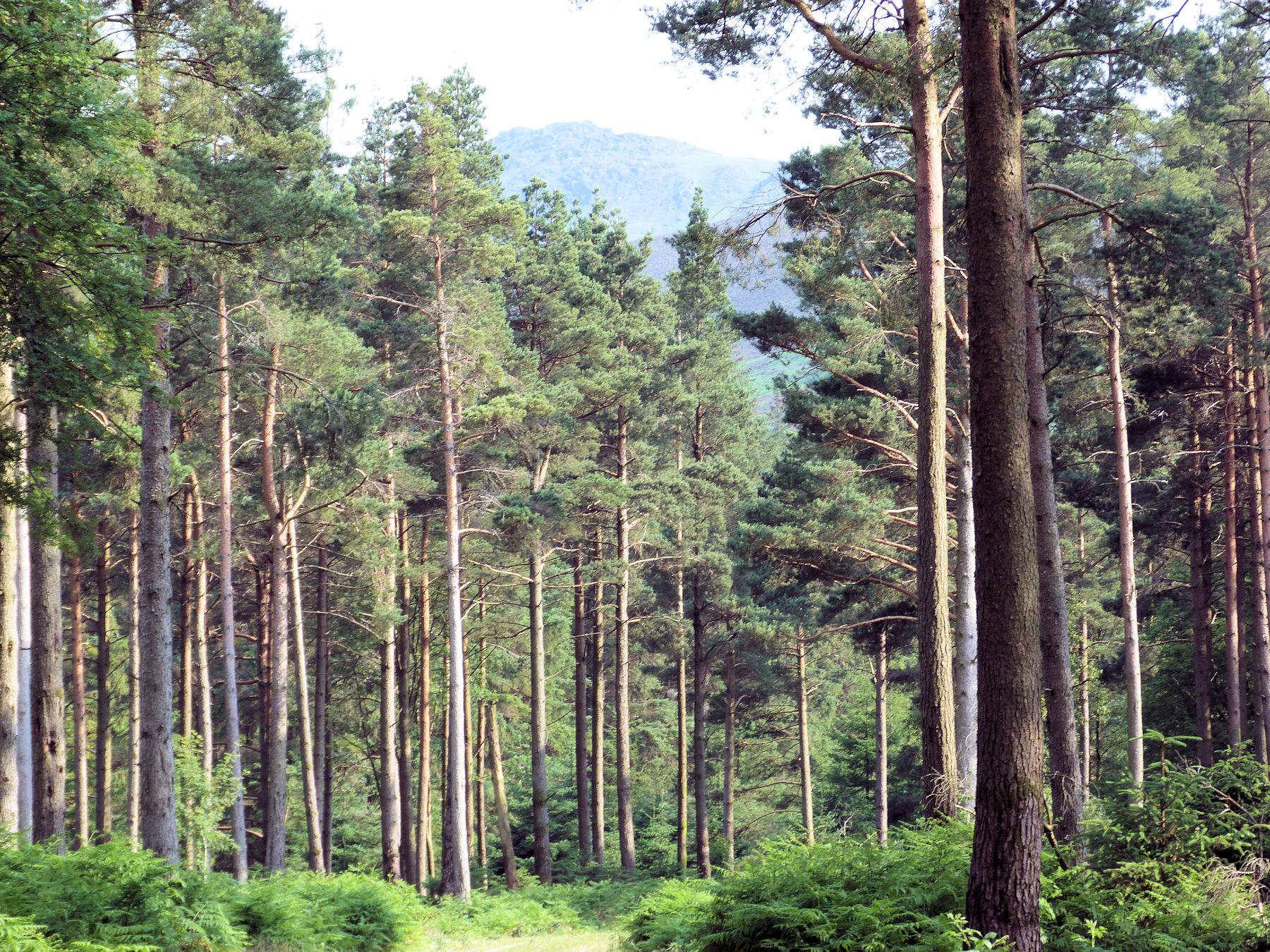 Ennerdale forestry