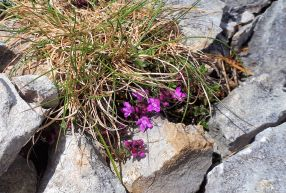 Pink wild flowers in the limestone