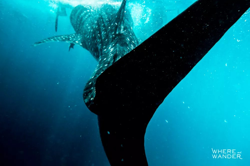Getting-Hit-By-A-Whale-Shark