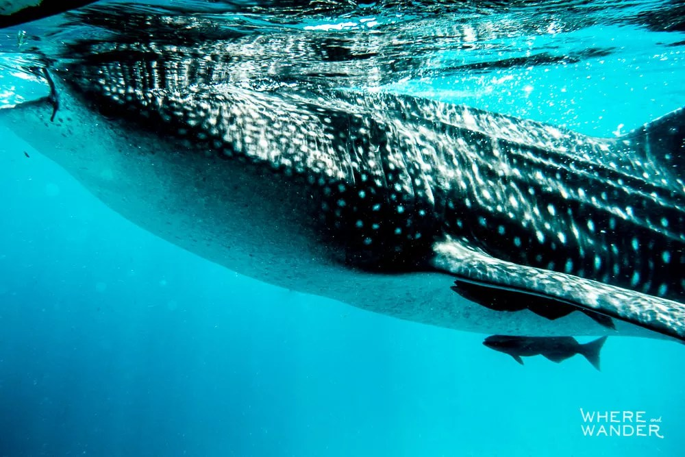 Where-To-Swim-With-Whale-Sharks-In-Philippines