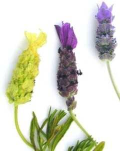 Tastes, Lavender Honey and Fruit over Yogurt