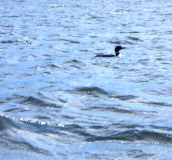 Loon on Lake Washburn