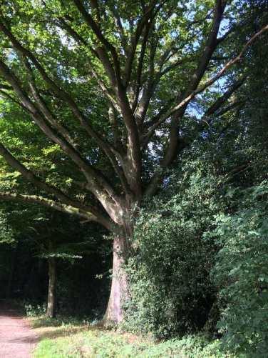 Old Oak on Chipperfield Common