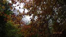 Beach leaves Wendover Woods