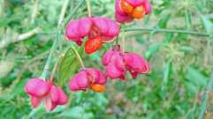 Spindle berry