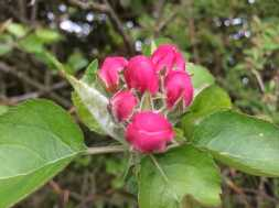 Crab apple blossom soon