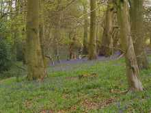 Early Bluebells in College Woods, Pishill