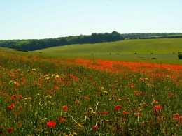 Summer-poppies,-Goring