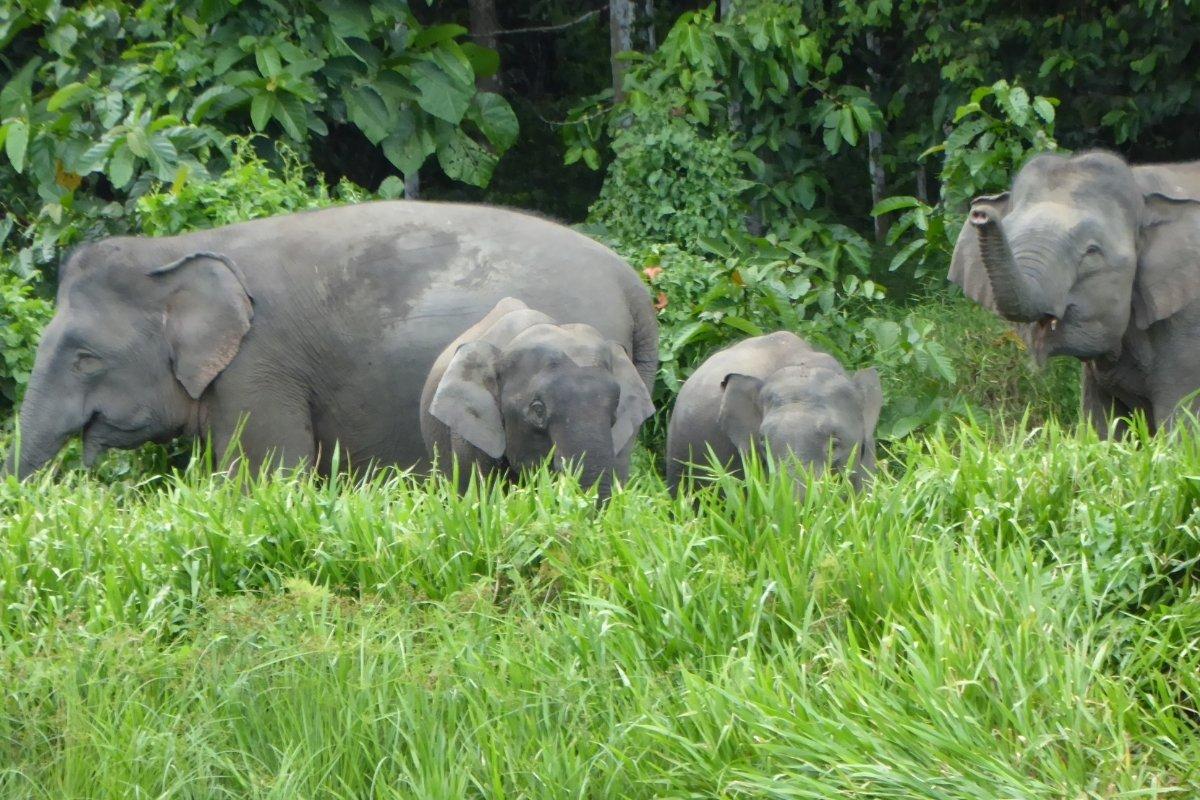 Kinabatangan-Pygmy-Elephants-Malaysia