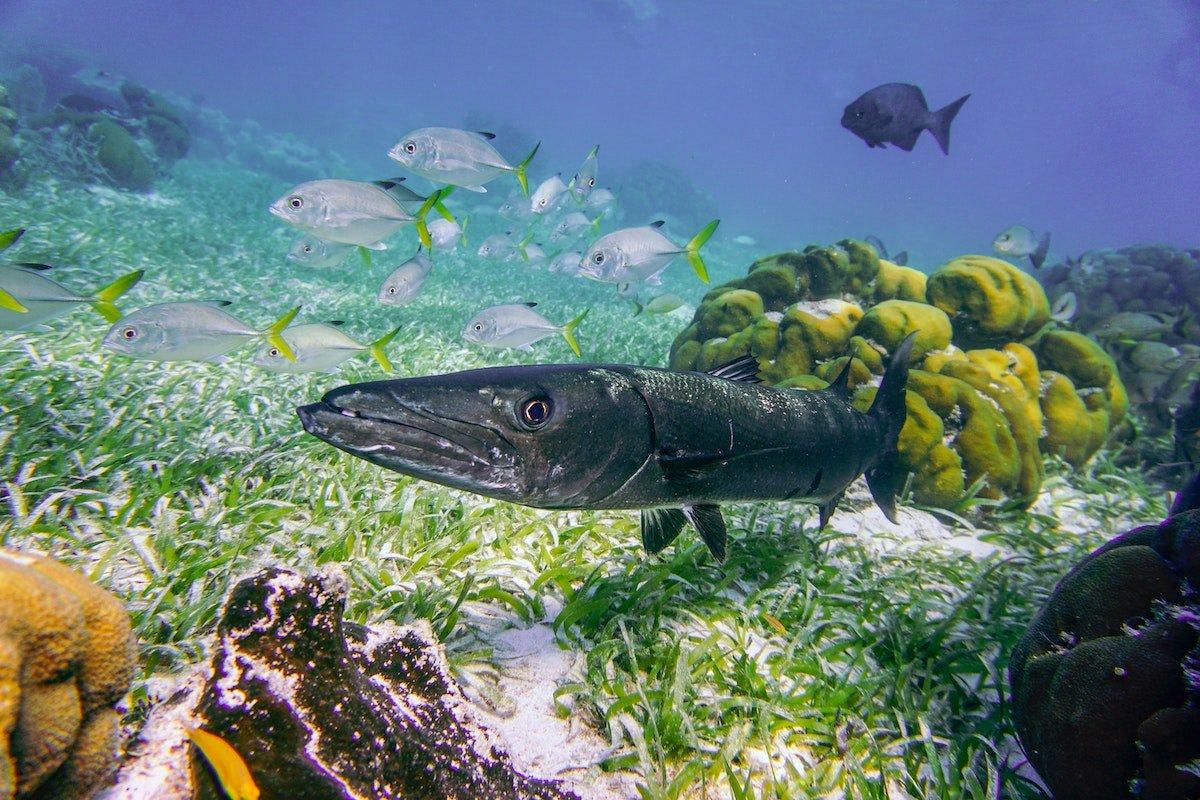 barracuda-underwater-in-malaysia
