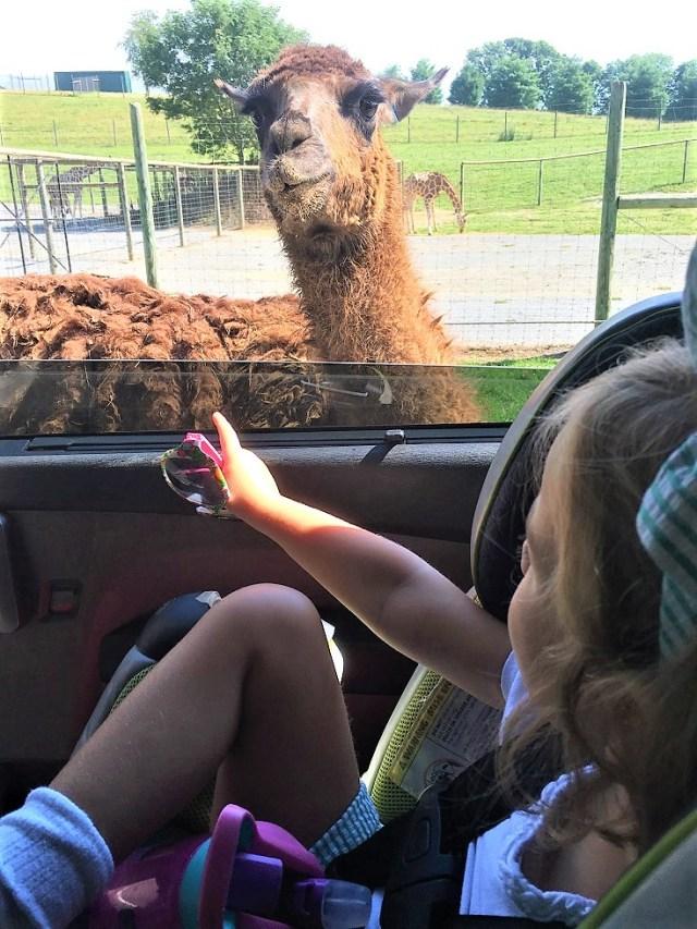 Emelia feeds a Llama at Virginia Safari Park