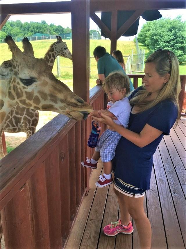 Feeding a Giraffe at Virginia Safari Park Zoo