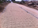 Whole grain rice on the road-vehicles driving on it will help remove the husk