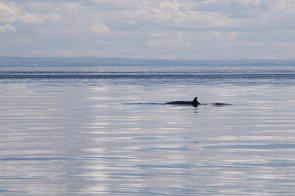Minke or Fin whale