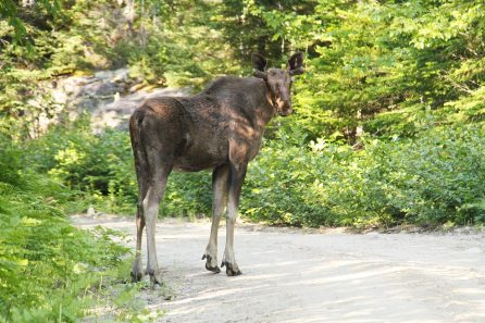 A young moose