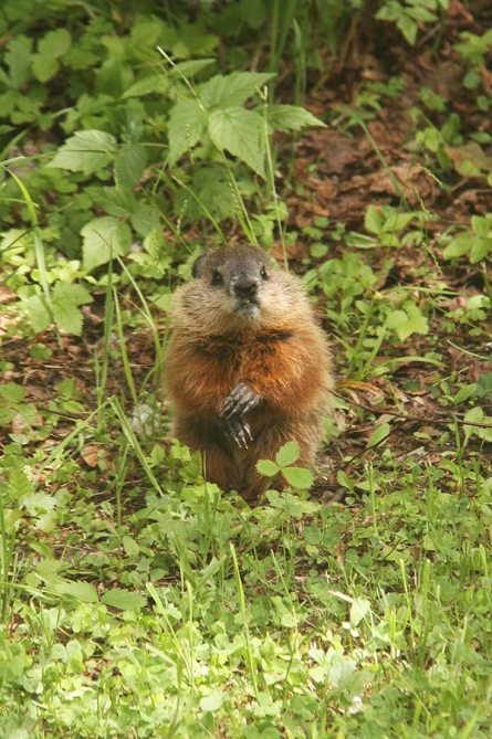 Marmots!