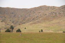 A longhorn sheep