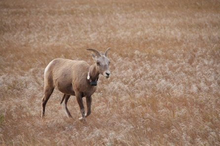 Longhorn sheep