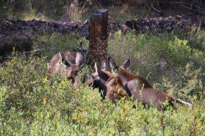 Mama moose and babies