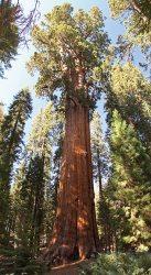 General Sherman, the biggest tree