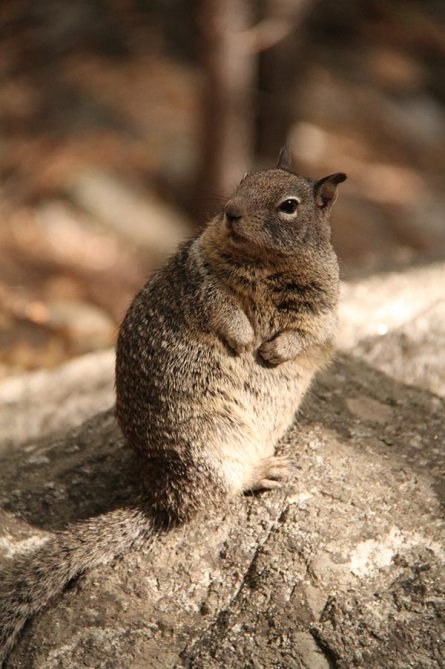 Fat squirrel