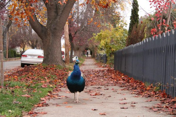 There's peacocks around the city
