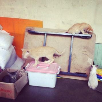 koty z Bangkoku
