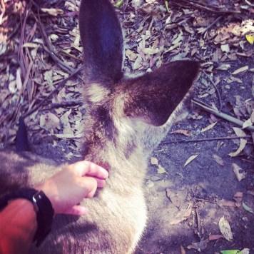 kangura se głaszcze