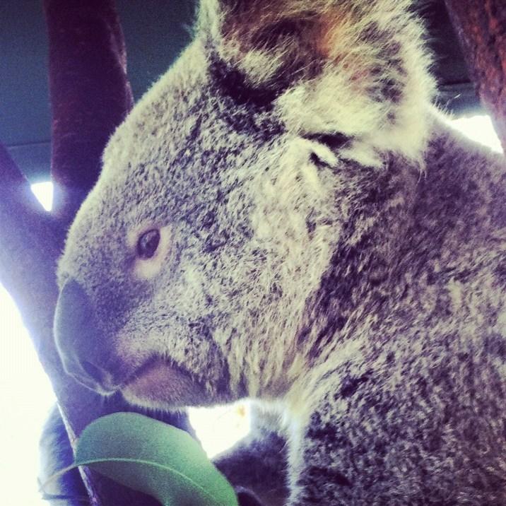 koala cudna
