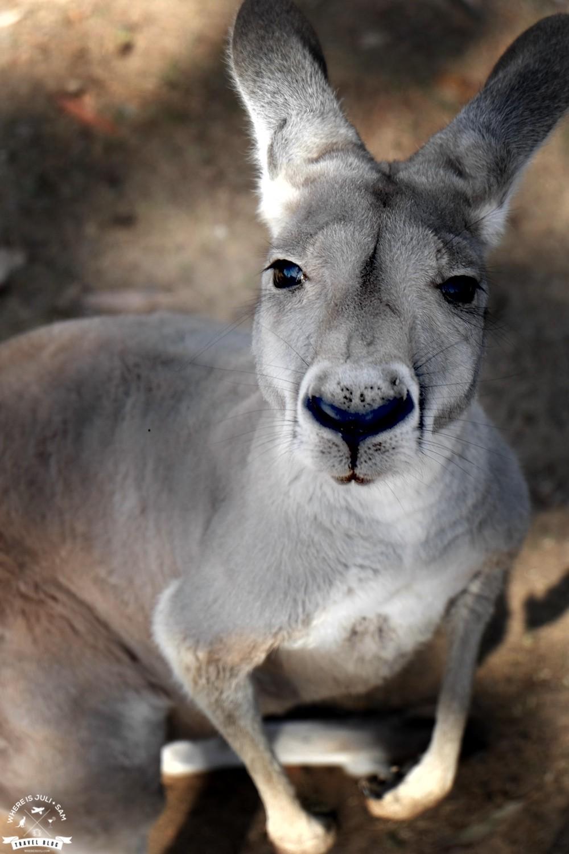 głodny kangur