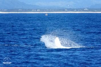 wieloryby w Australii