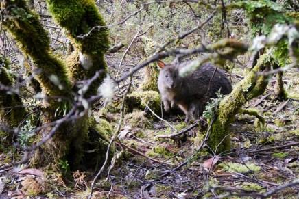 Tasmania torbacze w lesie