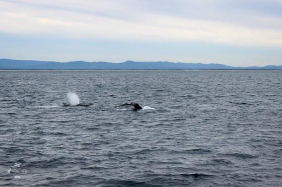 Trasa Sydney Brisbane wieloryby