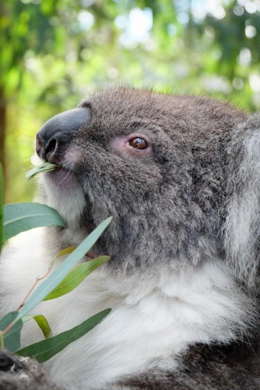Koale-w-Australii