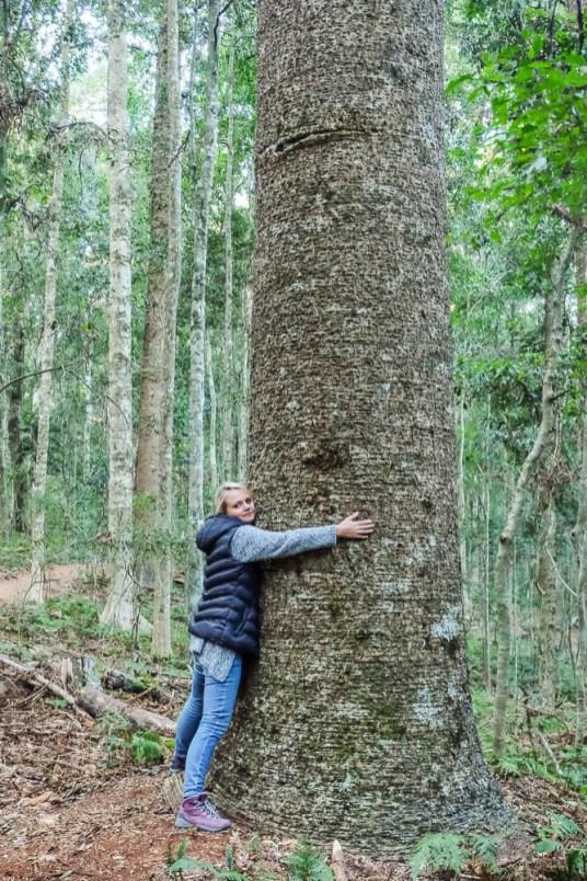 Drzewa-Bunya