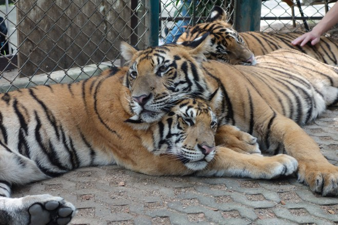 Three cute tiger siblings
